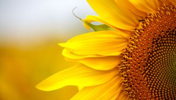 sunflower-house